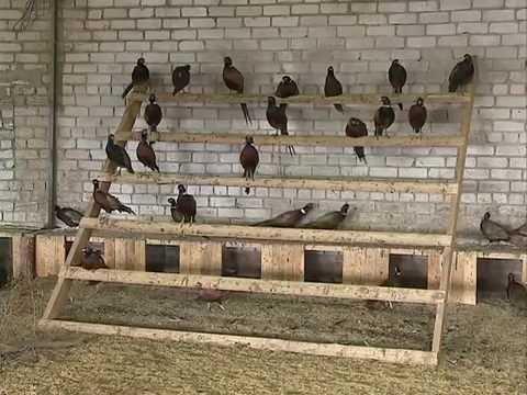 Предприниматель под Гаврилов-Ямом  занимается разведением фазанов