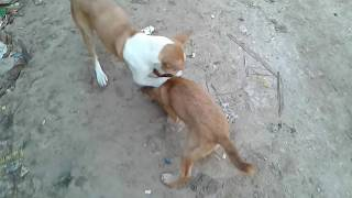 ANIMAL FIGHT! DOG FIGHTING VIDEO-2018