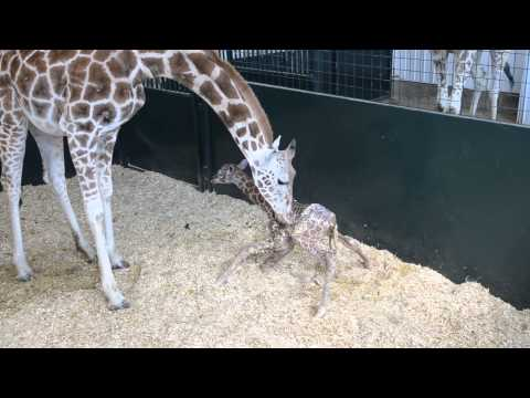 Baby Giraffe First Time Standing    2