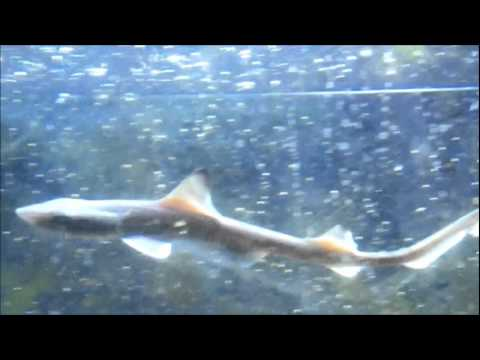 Smooth Dogfish Smooth Dogfish Pup vs Adult