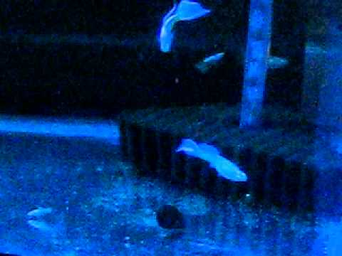 RREA Full White Platinum Ribbon Guppies