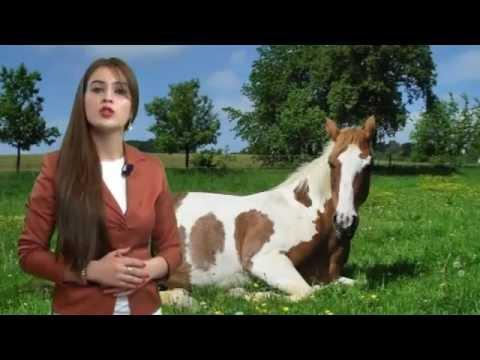 atlar haqqında - Atların ayaq üstdə yatdıqlarını bilirsinizmi?