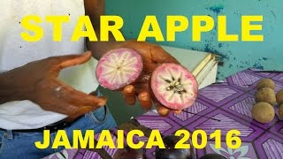 Star Apple Jamaican Fruit 2016