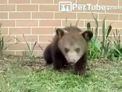 くしゃみ連発!頭を振りすぎてくらくらしてしまう小熊