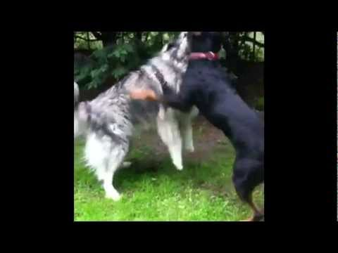 Sarplaninac,Rottweiler