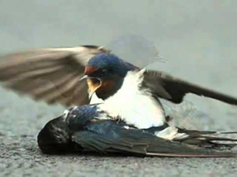 A True Love Story Of Birds that Shocked the World...By SAQIB...