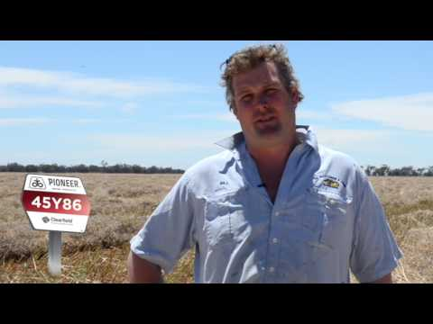 Grazing a top option for early planted canola