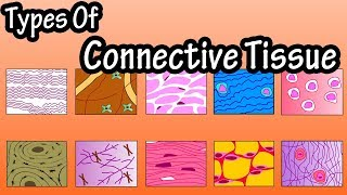 Types Of Connective Tissue - What Is Connective Tissue - Functions Of Connective Tissue