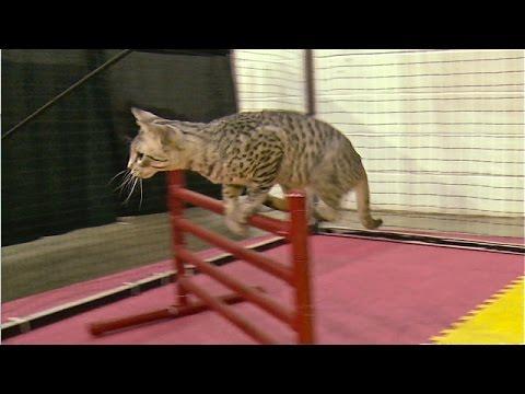 Bengal cat exercise wheel
