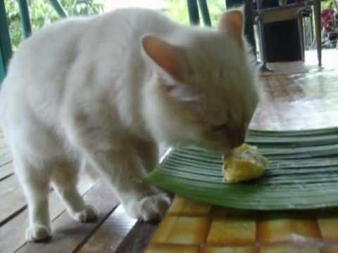 Tigers Eat Durian Cat Eating Durian Yelloww