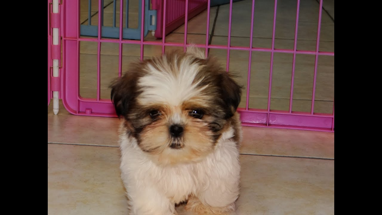 Pictures of shih tzus for sale Shih Tzu Puppies For Sale