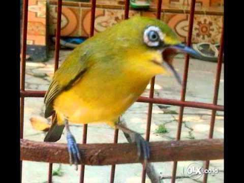 Terapi Burung Pleci Agar Burung Bahan Cepat Buka Paruh   Ngerol Ngalas video