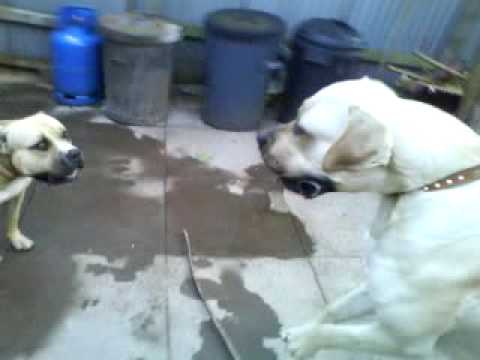 Presa Canario Playing with Two Pitbulls - VXV: Videos x Vos.