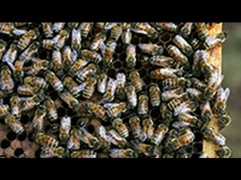 Is Climate Change To Blame for Honeybee Decline?