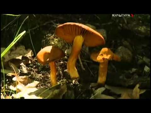 Смертельно опасный гриб паутинник