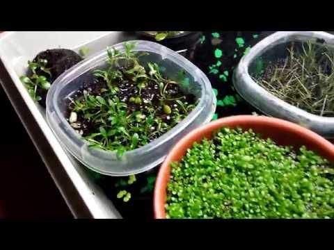 how to grow aquatic long hairgrass