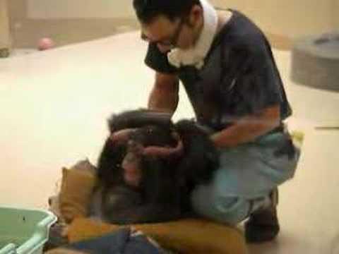 元気に育っているチンパンジーの子ども 2歳 in 札幌