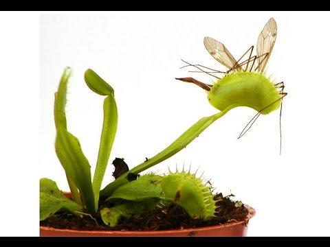 Выращивание хищных растений 1