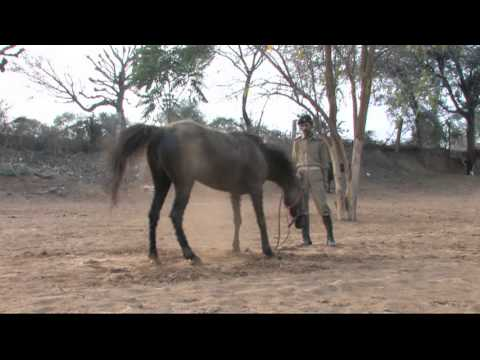 Marwari Horse Dundlod Fei video