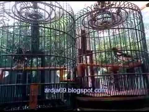 Anis Kembang Memastikan Jenis Kelamin video