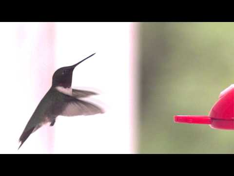 Humming bird hovering in UltraSlo slow motion