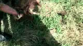 ловля сурков на петли