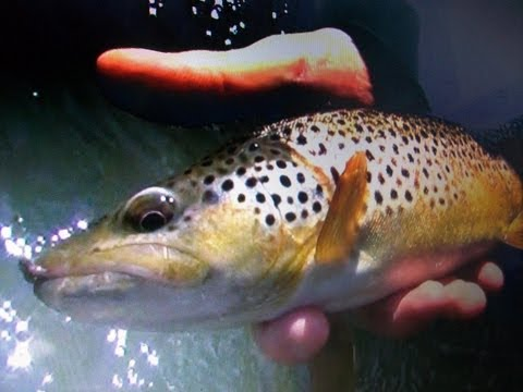 Dry Fly Fishing, Wild Brown Trout Hitting and Caddis Hatching in PA on the Little J