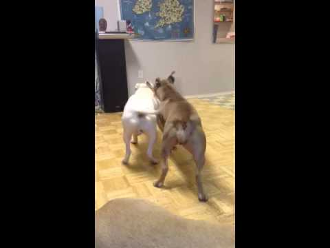 Bullied Fights Pitbull Fights American Bully