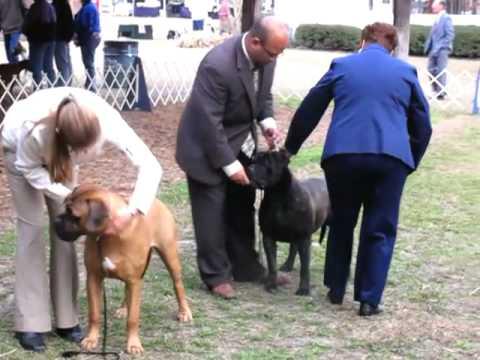 bullmastiff breed judging at AKC conformation show in Ocala, FL.