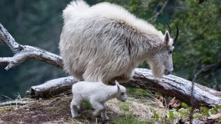 Day old baby mountain goat - Mt Baker National Forest - 6/2/2013