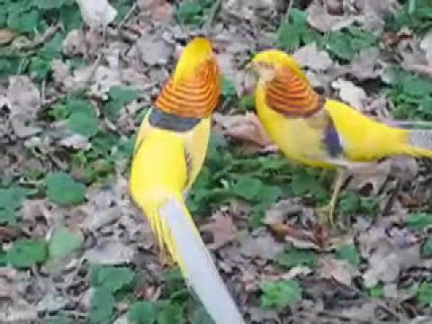 Golden Pheasants Fighting