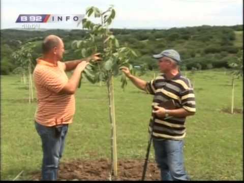 Kako podizati plantaze oraha  - iz usta eksperta sa iskustvom