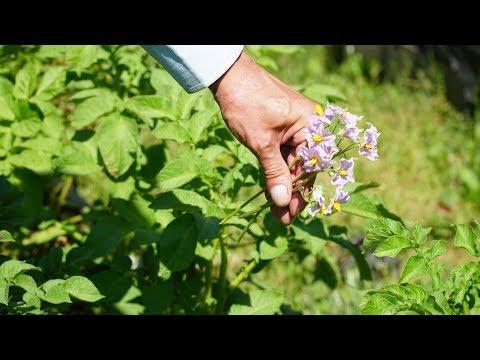 Оборвите цветы картошки! Это даст богатый урожай!!!