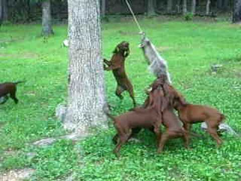 2009 redbone puppies training video.  Pups are 3 months old at time of video.