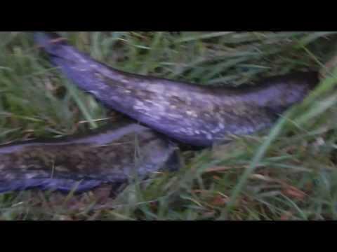 сомики, мини отчет о рыбалке