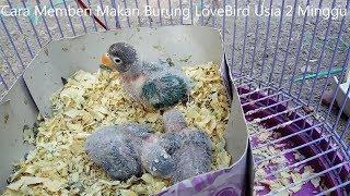 download lagu Cara Memberi Makan Burung Lovebird Usia 2 Minggu gratis