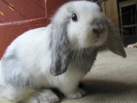 Holland Lop Bunny 9 Weeks Old