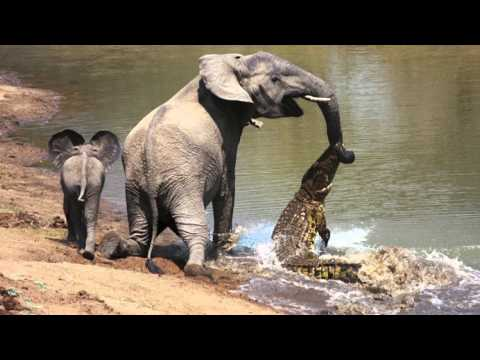 The moment a brave elephant mum shakes a vicious crocodile off her trunk Music Videos