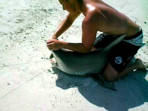 The Chomp Zone Florida Beach Surf Shark Fishing. Big 100lb Blacktip!