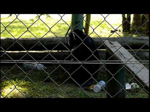 """Después de 37 años de cautiverio murió Toto, el chimpancé del """"Arca de Enrimir"""""""