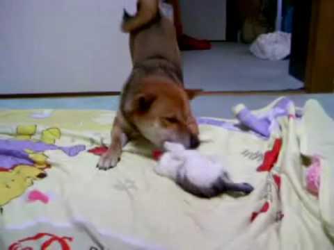 柴犬 赤ちゃん猫の子守を任される