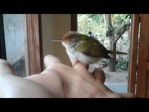 Suara Paling Ampuh Untuk Pikat Semua Burung, Suara Tanda Terancam Bahaya Burung Kecil