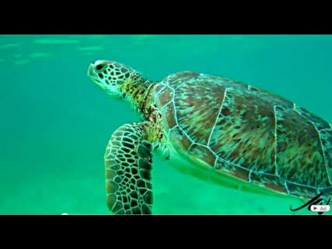 Sea Turtle -  HD