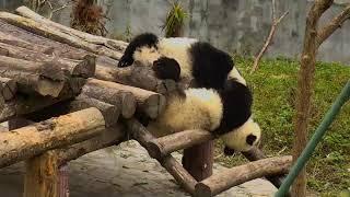 Explore org HVG panda toddlers play time