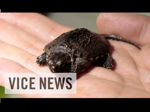 VICE News Daily: Virus Threatens Rare Turtles in Australia