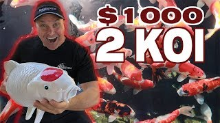 BEST KOI FOR AN ECOSYSTEM POND!