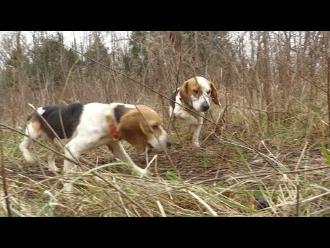 Rabbit Hunt with Great Dogs