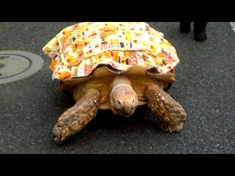 Pet owner casually takes giant tortoise for a walk