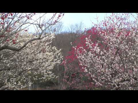 岐阜市 「梅林公園」 ~梅の花~
