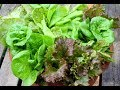 Tips For Growing Lettuce In Containers For Beginners Gardening Basics mp3